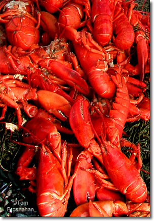 Cooked lobsters (red), Maine
