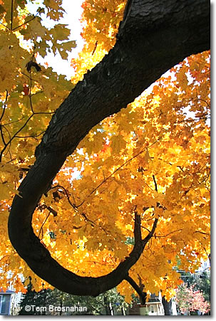 Maple tree foliage, Concord, Massachusetts