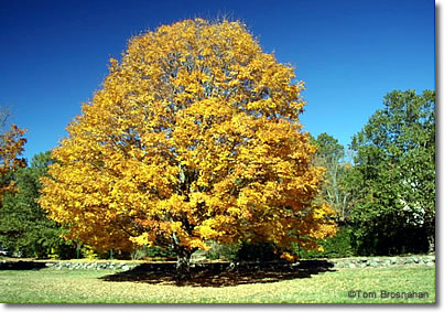 Fall foliage tree, Concord, Massachusetts