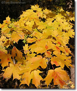 Yellow Maple Leaves, Concord MA