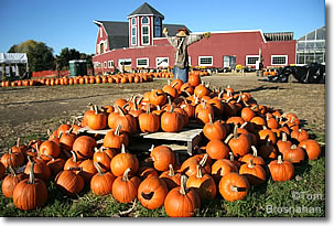 Pumpkin farm, New England