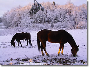 Horses in the snow, Concord MA