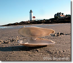 Clamshell on the beach, Annisquam MA