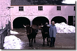 Barn & Cattle, Old Sturbridge Village, Sturbridge MA
