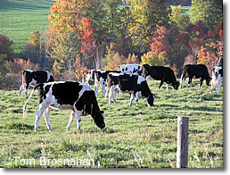 Vermont Dairy Cattle