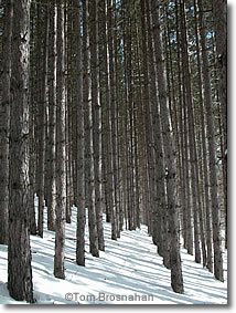 Pine Trees in Winter, Vermont